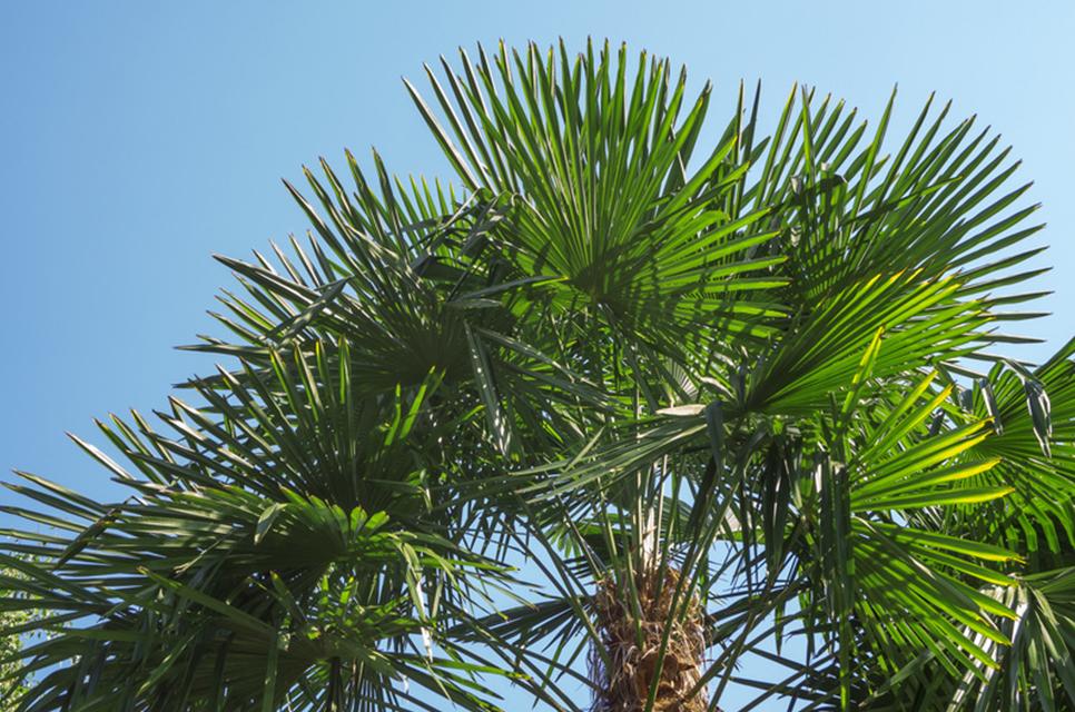 Palmiers à la vente