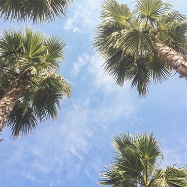 Notre pépinière de palmiers Bretons